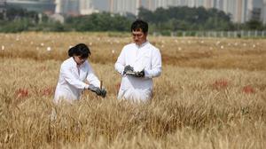 세계 최초 알러지 저감 밀 품종 '오프리' 개발